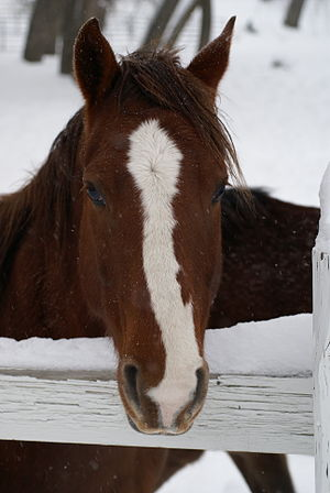 English: An American Quarter Horse in winter. ...