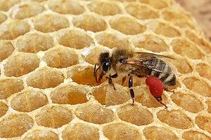 Worker bee of the Western honey bee with pollen.