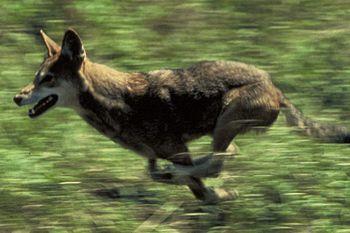English: Red wolf running