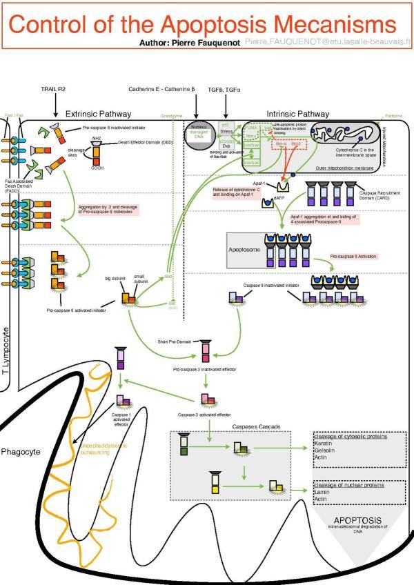 File:Control Of The Apoptosis Mecanisms.pdf - Wikimedia ...