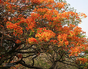Gulmohur, Royal Poinciana, Flamboyant, Peacock...