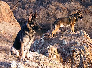 German Shepherd Dogs. Female (left), Male (right).