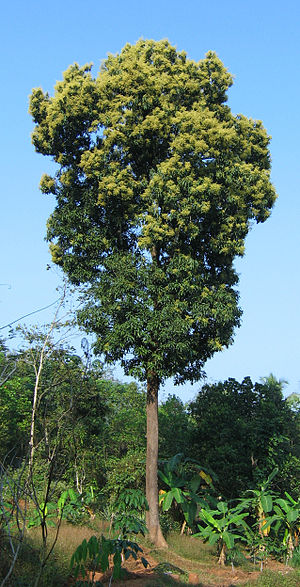 English: Mango tree in full bloom