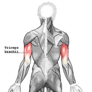 Articularis cubiti muscle