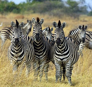 Plains Zebras (Equus quagga), more specificall...