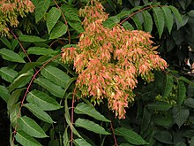 https://i1.wp.com/upload.wikimedia.org/wikipedia/commons/thumb/8/84/Ailanthus-altissima.jpg/220px-Ailanthus-altissima.jpg