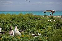 Uccelli di Albatross al monumento nazionale delle isole hawaiane di nord-ovest, Atollo intermedio, 2007March01.jpg