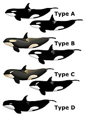 """Image result for """"type D"""" killer whales off South Georgia island"""