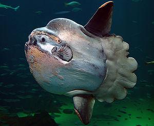 English: Mola Mola, Sunfish Svenska: Klumpfisk