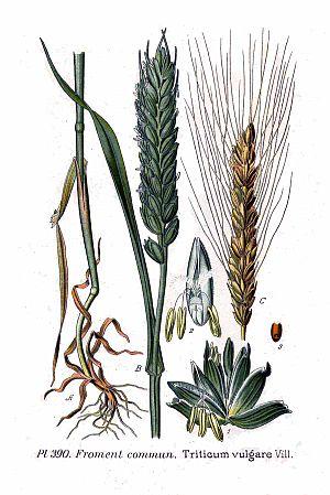 Triticum vulgare Vill.