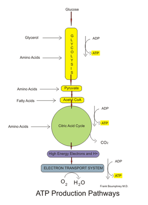 English: ATP producing pathways of glucose met...