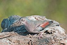The Common Ground Dove is among the smallest species in the family