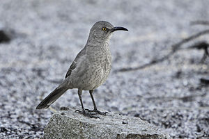 English: Curve-billed Thrasher (Toxostoma curv...