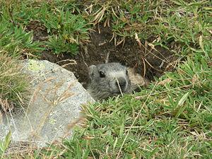 Italiano: Una marmotta che spunta dalla tana a...