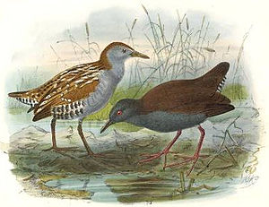 English: On left: Marsh Crake or Baillon's Cra...