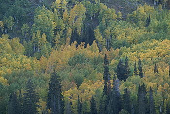 English: Leaves of Utah mountain trees changin...