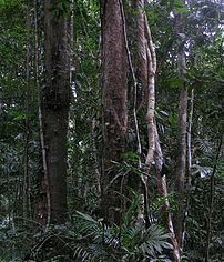 Daintree Rainforest. Photo taken June 2005. Up...