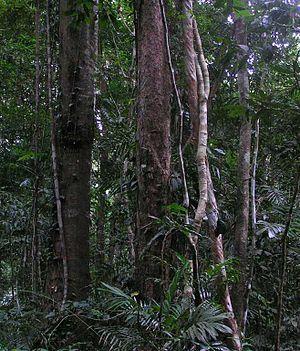 Daintree Rainforest. Photo taken June 2005. Up...
