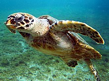 Photo of swimming turtle