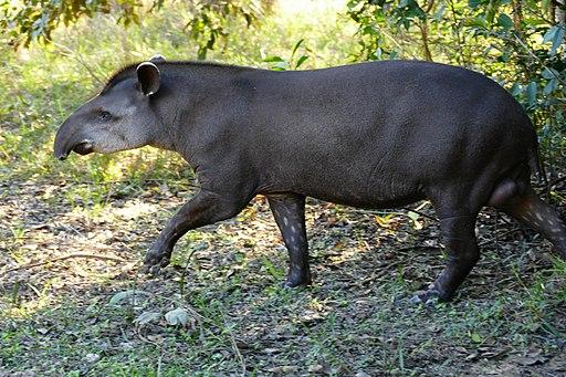 Lowland Tapir (Tapirus terrestris) male out of the forest ... - Flickr - berniedup