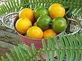 Mixed Calamondin-Calamansi.jpg