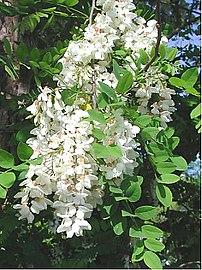 Robina pseudoacacia bloom April 22, 2003 Hemin...