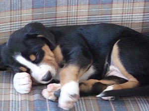 Greater Swiss Mountain Dog puppy sleeping.