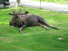 Bull moose laying on a lawn