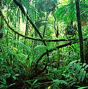 Flowers of these plants usually grow directly from the bark. Rainforest Wikipedia
