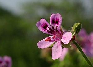 ;Name :Pelargonium quercifolium 'Fair Ellen' ;...