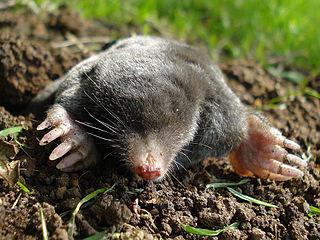 A mole emerging from a molehill
