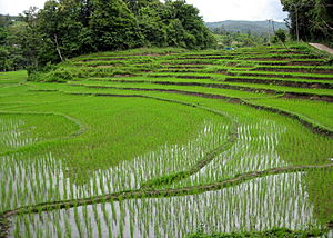 Rice fields near Chiang Mai, Thailand. Campos ...