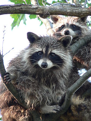 Raccoons at Snug Harbour, Georgian Bay, Ontari...