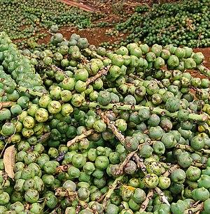 English: Arenga pinnata fruits, collected for ...