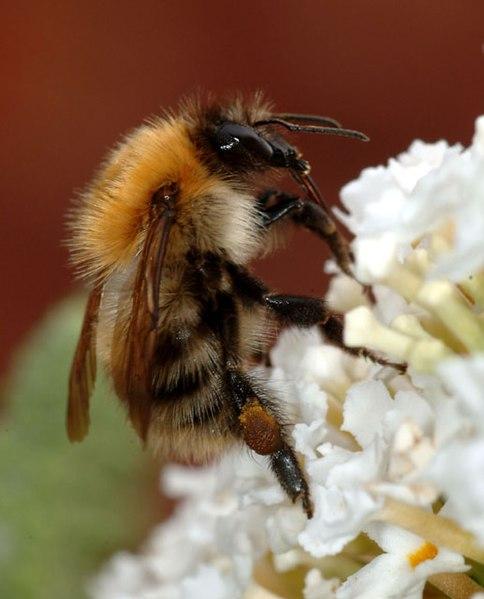 Bumblebee closeup.jpg
