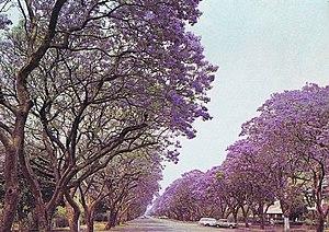 Jacaranda trees in Montagu Ave, Salisbury, Rho...