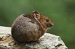 Royle-Pfeifhase (Ochotona roylii)