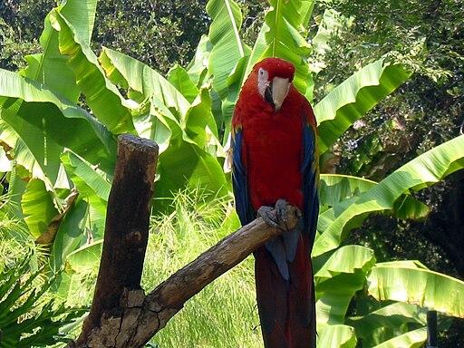 Ara macao -Happy Hollow Park and Zoo, San Jose, USA-8a