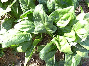 English: Spinach plant, Castelltallat, Catalon...