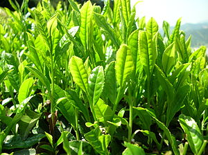 Tea leaves from Japanese Yabukita tea plant. 日...