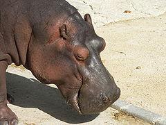 Hipopótamo no zoológico