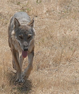 A wolf in Italy