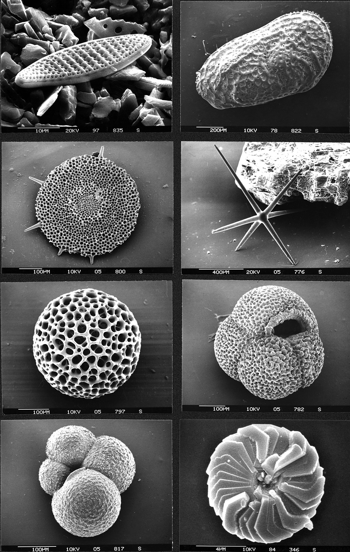 Micropaleontology Simple English Wikipedia The Free