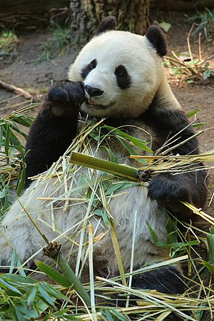 English: Bai Yun, a female Giant Panda at San ...