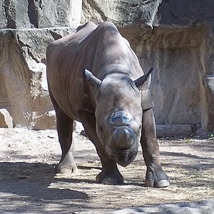 English: Black rhinoceros at Lincoln Park Zoo