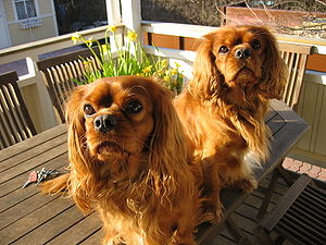 Two cavaliers sitting on a table