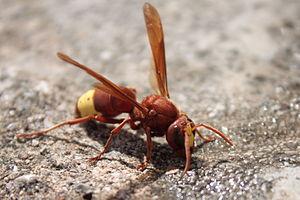 An oriental hornet (Vespa Orientalis) landed o...
