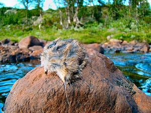 A dead lemming on a stone in the river Revåa i...