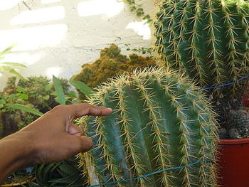 English: The Exotic Cactus Collection nursery(...