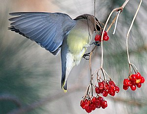 Cedar Waxwing (Bombycilla cedrorum) eating berries